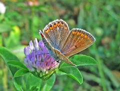 Reverdin's Blue (female),  (Plebejus argyrognomon). (ermenegildore) Tags: farfalle farfalla butterflies butterfly nature natura macro insetti insects