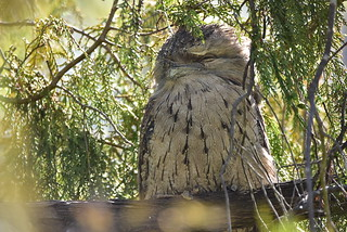 Tawny Frogmouth day 100