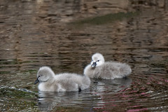 Dad said there was food in here (kailhen) Tags: blackswans cygnets water fluffy cute birds dawlish devon