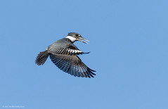 Belted Kingfisher (Peter Bangayan) Tags: nature birds canon wildlife kingfisher tamron beltedkingfisher eos7d tamronsp150600mmf563divcusd