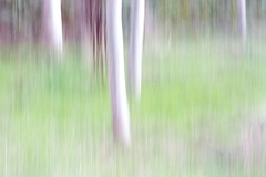 blurred aspens, vanDusen gardens, Vancouver (gks18) Tags: autumn trees white abstract blur green fall vancouver canon garden soft pastel blended slowshutter canon7d