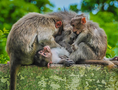 Monkeys with baby monkeys at Mysore Chamundi Hills - Mysore India (mbell1975) Tags: baby india with hills monkeys mysore chamundi bengaluru ಬೆಂಗಳೂರು