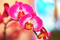 Orchid II (Mlanie Sarro) Tags: orchid flower fleur colors orchide niceflower beautifulflower joliefleur