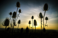 We will not go down easy (simontheintrepid) Tags: autumn sunset plant silhouette countryside kent hill teasel vignette dipsacus unseasonablywarm d7000 deting whitehorsewood