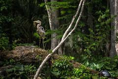 The Tortoise and the Heron (Rob Hanson Photography) Tags: travel heron water river log kayak florida turtle wildlife jungle kayaking swamp fl greatblueheron 2014 silverriver silverriverstatepark robhanson robhansonphotographycom