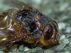 Dead fly (sebas_benitez) Tags: macro delete10 bug delete9 delete5 delete2 fly delete6 delete7 insects delete8 delete3 delete delete4 save micro mosca tamron90mm insecto deadfly moscamuerta