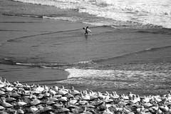 Vida (Dragostesun Photography) Tags: blackandwhite bw sol surfing auckland vida aotearoa gannetcolony maoribay aucklandphotographer