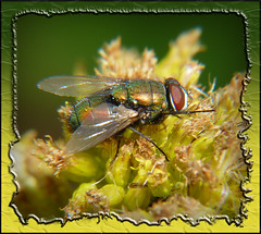 Green Bottle Fly on Goldenrod Weed 1 (DarkOnus) Tags: macro green closeup lumix fly bottle weed pennsylvania goldenrod flies 2d buckscounty fdf flydayfriday dmcfz35