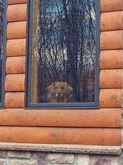 KIWI (MacGuffin56) Tags: dog reflection goldenretriever kiwi