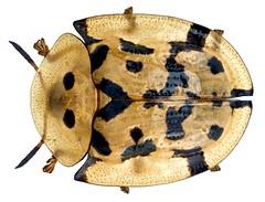 Aspidimorpha deusta (Fabricius, 1775) Syn.: Aspidomorpha deusta (Fabricius, 1775)