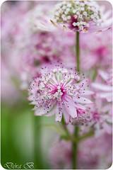 Pink (Dóra B.) Tags: pink summer white flower green garden sommer sumar sól dorabirgis