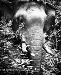 Asian Elephant Mae Sot (Rob Whittaker Photography) Tags: blackandwhite bw elephant fauna canon thailand asia seasia burma wildlife jungle animalplanet asianelephant maesot travelphotography westthailand canonphotography thaielephant burmeseborder robertwhittaker forestelephant workingelephant thaijungle sazzoo robwhittaker robwhittakerphotography sazzoocom robertwhittakerphotography maesotelephant