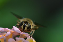 Eristalis Tenax ♀ (Hachimaki123) Tags: animal insect fly mosca insecto ♀ eristalistenax