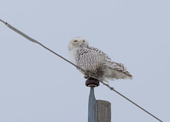 Snowy Owl (VNR Photography) Tags: sky ontario canada cold night canon outdoors countryside awesome country owl snowyowl vnr andrevonnickisch 9058679106 vnrphotography avnrphotogmailcom