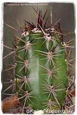 Trichocereus werdermannianus WS259 [Chaipiuco, Potosi, Bolivia (2937m] (farmer dodds) Tags: cactus bolivia cactaceae mescaline potosi echinopsis trichocereus trichocereuswerdermannianus trichocereuswerdermannianusws259 chaipiuco