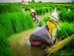 """punla"" (jimrey_herrero) Tags: travel people green water digital canon is women rice mud philippines harvest ixus filipino farmer pinoy pangasinan bugallon 860 alog paserser"