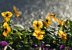 Flower bokeh (Jaedde & Sis) Tags: flowers yellow bokeh challengefactorywinner thechallengefactory pregamewinner storybookwinner beginnerdigitalphotographychallengewinner bdpc