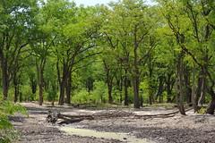 Forêt de Mopane, Moremi (Dijor) Tags: africa park forest photo wildlife delta safari national richard outback botswana wilderness moremi randall royale okavango sauvage faune naturaliste mopane essentielbotswanafr essentielbotswana