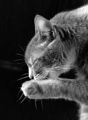 Linus in Black and White (linda_lou2) Tags: blackandwhite pet cat linus 115picturesin2015 themeno72