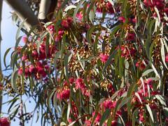 Eucalyptus leucoxylon F.Muell. 1855 (MYRTACEAE) (helicongus) Tags: eucalyptusleucoxylon