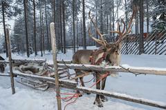 RENNA CON SLITTA A SANTA PARK (DAVIDE CONGIA photography) Tags: winter aurora camper inverno zero viaggio sotto finlandia in lapponia boreale svezia finlandese
