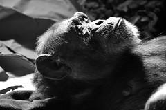 Chimpanzee (Explored) _DSC0310 (ikerekes81) Tags: mammal zoo md maryland baltimore chimpanzee primate greatape baltimorezoo pantroglodytes