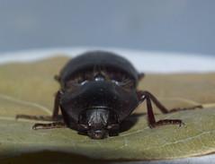 Elateridae Agrypninae>Anthracalaus? Brown click beetle DSCF6153 (Bill & Mark Bell) Tags: exmouth westernaustralia australia geo:town=exmouth geo:state=westernaustralia geo:country=australia geo:lon=11425453egeolat2217752sgeoalt8m 11425453e2217752salt8m taxonomy:kingdom=animalia animalia taxonomy:phylum=arthropoda arthropoda taxonomy:class=insecta insecta taxonomy:order=coleoptera coleoptera taxonomy:family=elateridae elateridae taxonomy:genus=anthracalaus anthracalaus taxonomycommonnamebrownclickbeetle brownclickbeetle insect animal fauna beetle