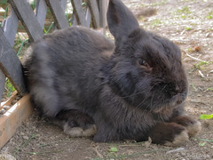 A Baby Rabbi  -  (snakecats) Tags: rabbit hokkaido     yunigarden    yunicho
