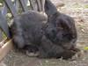 「A Baby Rabbi」 ゆにガーデン - 北海道 (snakecats) Tags: rabbit hokkaido 北海道 日本 ウサギ 兎 yunigarden 由仁町 ゆにガーデン 夕張郡 yunicho