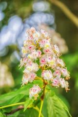 Horse Chestnut (Paul S Wheeler) Tags: horse flower golden blossom hour chestnut wentworh