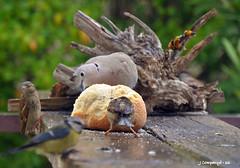 7DSC_0015 (Pep Companyo - Barral) Tags: barcelona birds animals fauna del de natura aves el pajaros marc catalunya aus sant oiseaux ocells bergueda 2015 ornitologia puigreig panet