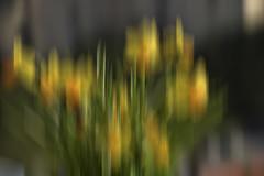 I miei narcisi (102 RENATO) Tags: liguria fiori verticale interpretazione narcisi nikond750 renatopizzutti
