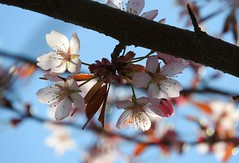 Cherry blossoms while they lasted... (KaarinaT) Tags: pink blue macro finland cherry helsinki bokeh zoomed roihuvuori
