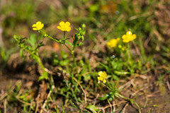 Meadow buttercup (cricketsblog) Tags: ranunculus plantae ranunculaceae ranunculusacris meadowbuttercup magnoliophyta magnoliopsida ranunculales scherpeboterbloem tracheophyta taxonomy:class=magnoliopsida taxonomy:order=ranunculales taxonomy:family=ranunculaceae taxonomy:genus=ranunculus tallbuttercup taxonomy:kingdom=plantae renonculecre scharferhahnenfus taxonomy:phylum=magnoliophyta giantbuttercup taxonomy:binomial=ranunculusacris taxonomy:species=acris taxonomy:common=scherpeboterbloem taxonomy:common=meadowbuttercup taxonomy:common=tallbuttercup taxonomy:superphylum=tracheophyta taxonomy:common=giantbuttercup  ranacr taxonomy:common= taxonomy:common=scharferhahnenfus taxonomy:common=ranacr taxonomy:common=renonculecre