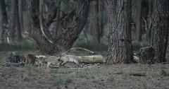 DSC08660rawcon_a (ger hadem) Tags: veluwe zwijn eekhoorn gerhadem