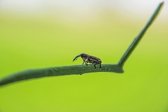 Weevil (suesuekhoo) Tags: photography nikon flickr outdoor beetle insects bugs natures snout weevil photooftheday flickrunitedaward suesuekhoo