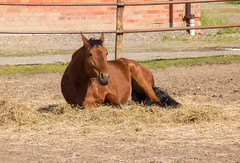 Straw in mouth (Yvonne L Sweden) Tags: horse spring sweden may lazy maj hst taxinge 3662016