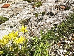Gagea peduncularis 2 (heinvanwinkel) Tags: 2009 februari phaselis liliaceae liliales magnoliidae stervanbethlehem spermatophyta tracheophyta gageapeduncularis lilianae euphyllophyta lilioideae bloemvandedag liliineae gageeae