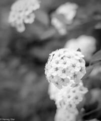 Blossom (wigerl) Tags: light blackandwhite bw flower nature 35mm austria licht photo sterreich europa europe fuji foto blossom natur 8 krnten carinthia f2 blte f28 strauch tiffen 2016 xseries feldkirchen xt1 fuji35mm14 fujixt1