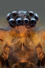 Cellar Spider (Yousef Al-Habshi) Tags: macro insect daddy spider al eyes uae abu dhabi cellar yousef longleg  habshi