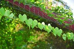 Leaf of Hearts (Ormastudios) Tags: plants green love leaves leaf heart gardensbythebay