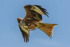 Kite feeding (andymulhearn) Tags: kite canonef70200mmf4lusm icbp eos7d2