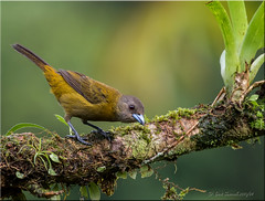 'anticipation' (d-lilly) Tags: female costarica passerinistanager tanagers costarica2016