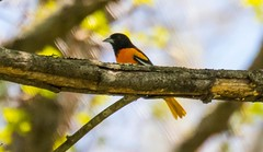 7K8A8777 (rpealit) Tags: bird nature scenery wildlife baltimore area oriole hatchery pequest
