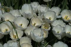 DSC_4084 (Copy) (pandjt) Tags: ca flowers canada bc britishcolumbia tulip abbotsford tulipfestival abbotsfordtulipfestival