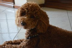 Cuteness overload (Jessica Del Santo ) Tags: portrait dog animal puppy sweet cutie charlie curly poodle lovely