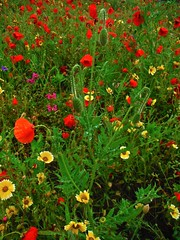 Poppies & Wild Flowers (Lydie's) Tags: daisies foliage rainy poppies wildflowers waterdroplets