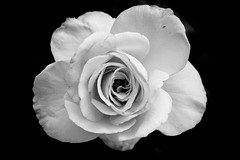 Love and Peace (s.d.sea) Tags: life flowers blackandwhite white chicago black flower art love monochrome rose gardens 35mm garden illinois still midwest peace pentax fine northshore glencoe botanic enjoyillinois k5iis