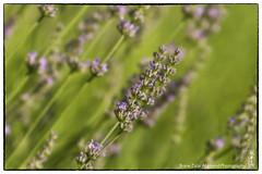 Lavandula (alamond) Tags: plant flower canon is spice lavender mint 7d oil l usm provence herb ef culinary mkii markii 70300 lamiaceae brane lavandula llens f456 alamond zalar