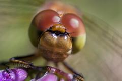 Libel - Odonata